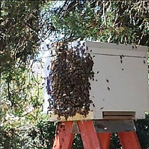 Bee swarm Adelaide