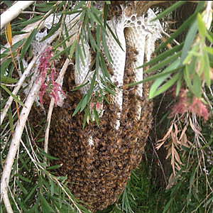 Bee hive Adelaide
