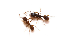 Wandering Ants