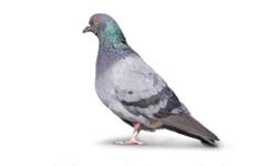 Pesky Pigeons