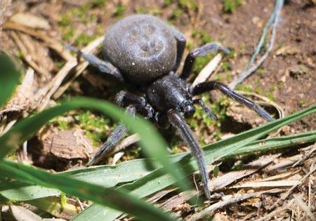 Garden Spiders coming inside