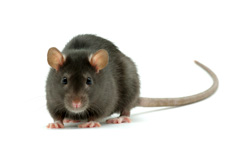 Rat Control Adelaide