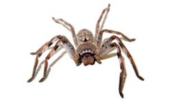 Harmless Huntsman Spider
