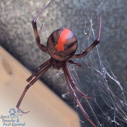 how-to-get-rid-of-redback-spiders